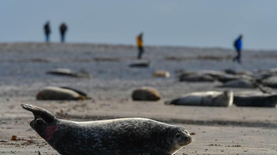 KAO POSLEDNJA VREMENA: 7 000 uginulih foka, okean izneo tela 1